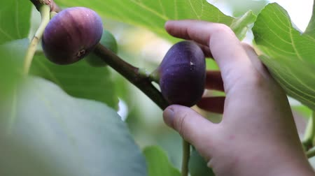 anjeer : The man picks the figs from the tree. Ripe common figs and fig leaves. Dark and green figs