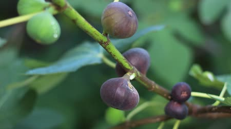 anjeer : Fig tree with dark fruits. Black Mission Figs Stock Footage