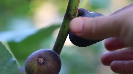 anjeer : The woman picks the figs from the tree. Fig tree with dark fruits. Black Mission Figs