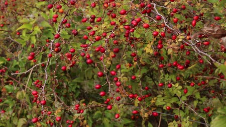 briar : Dog rose hips. Rosa canina hips Stock Footage
