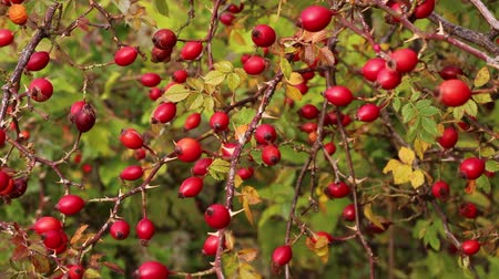 rosehip : Rose hips. Dog rose showing the bright red hips Stock Footage