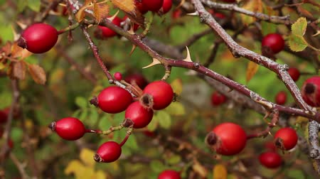 briar : Rose hips. Rosa canina hips Stock Footage
