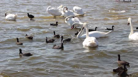 kaczka : Migratory birds - swans. Swan Lake near the town of