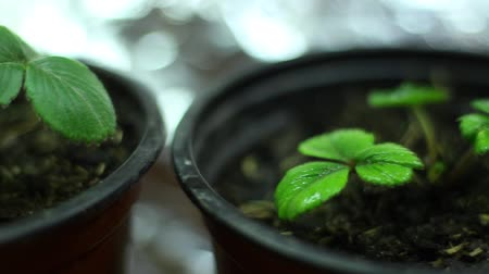 propagação : Grow light. Strawberry seedlings. A plant light is an artificial light source, generally an electric light, designed to stimulate plant growth Vídeos