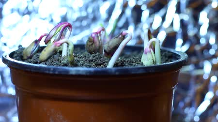 propagação : Grow light. A plant light is an artificial light source, generally an electric light, designed to stimulate plant growth by emitting an electromagnetic spectrum suitable for photosynthesis Vídeos