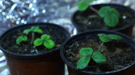propagação : Grow light. Strawberry seedlings. Spraying. A plant light is an artificial light source, generally an electric light, designed to stimulate plant growth