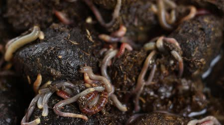 féreg : Worm Castings. Vermicomposting. A worm cast is a structure created by worms Stock mozgókép