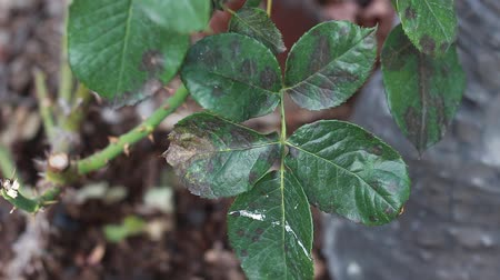 az érintett : Black spot disease on roses. Rose black spot (Diplocarpon rosae) is a fungal disease of roses where purple or black spots develop on leaves, which often drop early Stock mozgókép