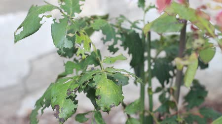 az érintett : Leaf Eating Pests. Rose Leaf damage caused by Leaf cutting Pests. Damage caused by chewing insects Stock mozgókép