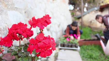 герань : Two Boys Planting Geranium Flowers Стоковые видеозаписи