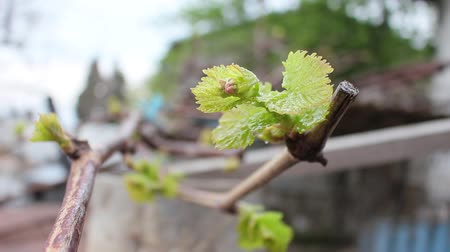 vernal : Grape Branch. Spring Sprouts