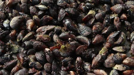 ulita : Raw mussels. Background, texture