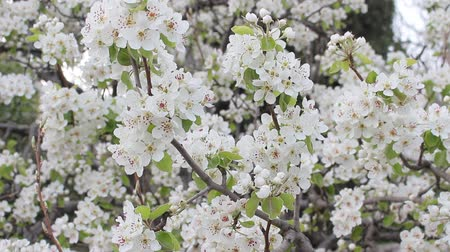 pereira : Pear Tree Blossoms