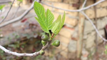 vernal : Spring Leaves and unripe fruit on common fig tree