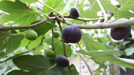 anjeer : Leaves and mature fruit of common fig Stock Footage
