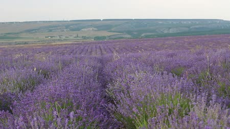 purpur : Lavender bushes. Lavender season in Provence