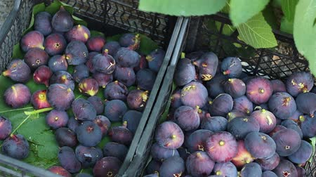 anjeer : Fig Tree Fruit Harvest. The gardener picks figs