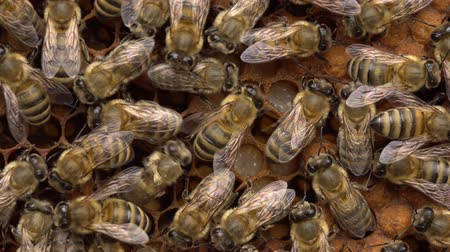 egg laying : Nurse bees feed the growing young a royal jelly. Caring for the brood—the next generation of honeybees Stock Footage