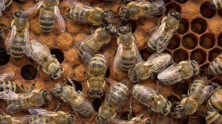 Bees in the colony. The brood-nest. Wax cap. Sealed-brood, the brown capped cells each contain a pupating bee larvae
