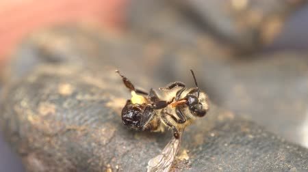 A honeybee died defending the hive.  Agony of dying bee after use his sting. When it does sting, it dies