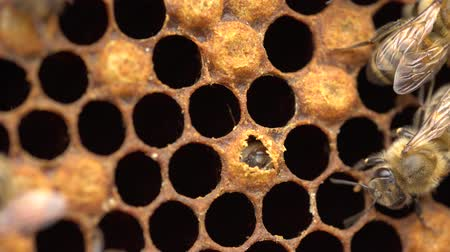 The Birth of a Bee. Worker bee emerging from cell. The Honey Bee Life Cycle