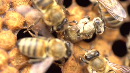 Honeybee emerging from cell. 21 days after the queen has laid an egg in the cell, the fully developed young bee chews through the wax cap and emerges out of her cell