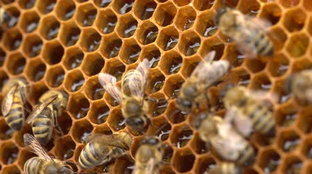 The bees store nectar in honeycomb cells made of wax. The honey is still a bit wet, so they fan it with their wings to make it dry out and become more sticky