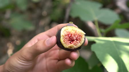 Garden of Eden. Fresh purple fig fruit in the hands of a man. Ficus carica, black edible fig Stock Footage