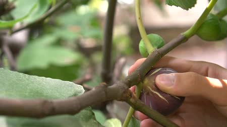 Mans hand picks a ripe fig fruit from a tree. Ficus carica. Purple fresh fig fruit