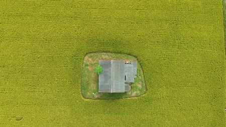 colhida : Footage of Aerial view of abandoned old wooden house in the middle of paddy field.