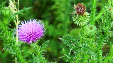 marianum : flower thistle in the meadow Stock Footage