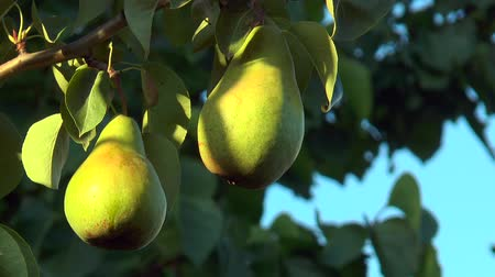 dois objetos : Two green pears illuminated by the setting sun Stock Footage