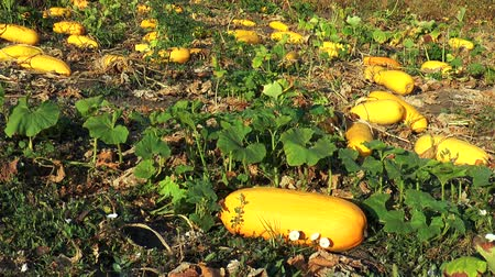 žalud : Many large yellow zucchini in the garden lie on the ground