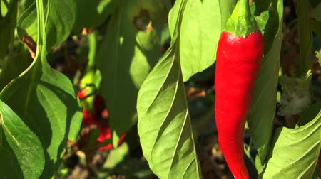 перец чили : Red chili peppers in the leaves in the garden