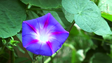 trepadeira : Flower blue bindweed on the background of green leaves