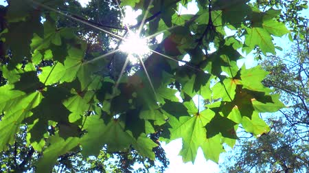 ramo : The rays of the sun through the green leaves of a maple