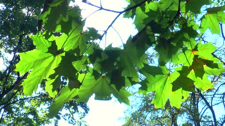 dal : Autumn green maple leaves against the sky