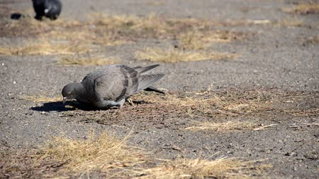 coo : Pigeon looking for food in the dry grass Stock Footage