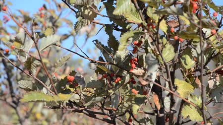 rowanberry : A branch of red mountain ash in the wind