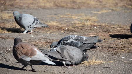 coo : Several pigeons looking for food in the dry grass