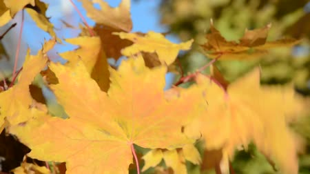 red maple : Autumn sunny day yellow maple leaf
