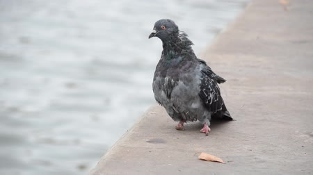 coo : Dove with injured legs on the river bank Stock Footage