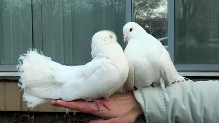 urban birds : Two beautiful white dove sitting on a mans hand