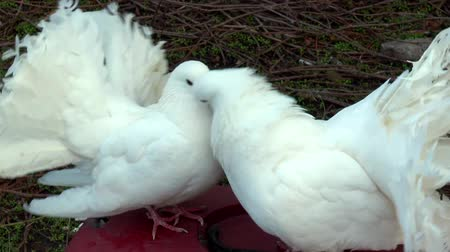 птица : Two beautiful white doves with fluffy tails