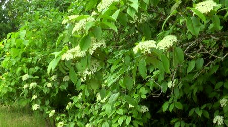 mürver : Elderberry bush. White flowers on a branch with green leaves Stok Video