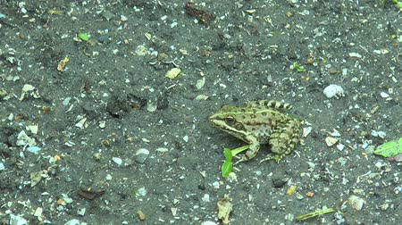 bullfrog : The frog sits on the ground and then jumps out of frame Stock Footage