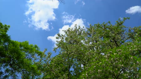 akacja : Blue sky with clouds. It can be seen flowering acacia tree