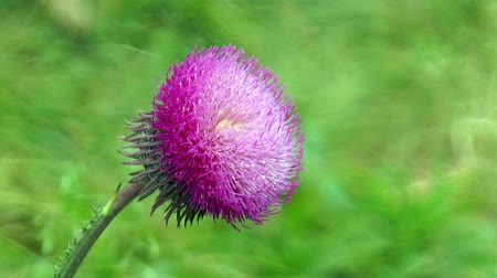 cardo : Thistle flower on a stalk. The background is blurred Vídeos