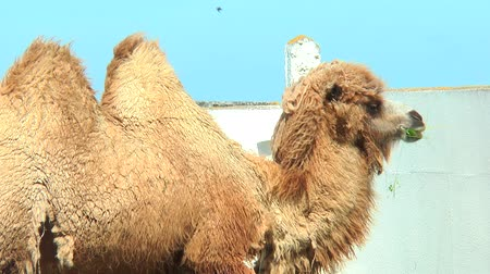 wielbłąd : Close-up Bactrian camel in corral eating from bird feeders. Shedding Bactrian camel