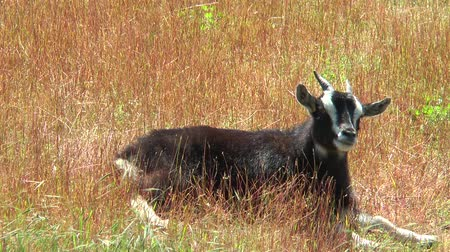billy goat : Cameroonian goat lying in the dry grass and panting.